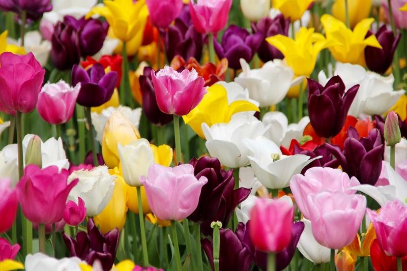 Bulbi da tulipani: suddivisione in gruppi e caratteristiche