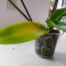 Orchidea, foglie gialle: come rimediare